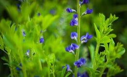 Fleur bleue sur le vert Photos stock