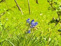 Fleur bleue sur la fleur au printemps Photos libres de droits