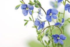 Fleur bleue sur un fond blanc Photos libres de droits