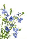 Fleur bleue sur un fond blanc Image libre de droits