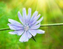 Fleur bleue sur un fond vert photo libre de droits