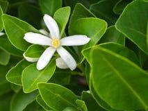 Fleur Blomming de kumquat Images libres de droits