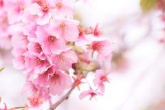 Fleur blossomCherry de cerise rose, cerise fleurissante japonaise sur l'arbre de Sakura Les fleurs de Sakura sont représentant de Image libre de droits