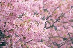 Fleur blossomCherry de cerise rose, cerise fleurissante japonaise sur l'arbre de Sakura Les fleurs de Sakura sont représentant de Images libres de droits