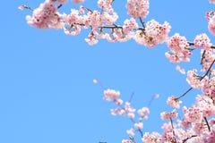 Fleur blossomCherry de cerise rose, cerise fleurissante japonaise sur l'arbre de Sakura Les fleurs de Sakura sont représentant de Photo libre de droits