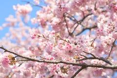 Fleur blossomCherry de cerise rose, cerise fleurissante japonaise sur l'arbre de Sakura Les fleurs de Sakura sont représentant de Photos stock
