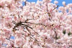 Fleur blossomCherry de cerise rose, cerise fleurissante japonaise sur l'arbre de Sakura Les fleurs de Sakura sont représentant de Photos libres de droits