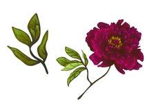 Fleur botanique florale de pivoine de Bourgogne de vecteur Art gravé d'encre Élément d'isolement d'illustration de pivoines illustration stock