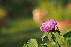 Fleur brésilienne de bouton, Centratherum, Larkdaisy ; fleur Photos stock