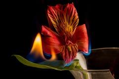Fleur brûlant avec élégance lentement sur le fond noir Photographie stock