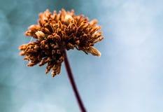 Fleur brune magnifiée sur un fond bleu grisâtre Photographie stock libre de droits