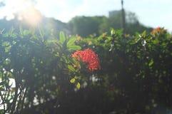 Fleur cachée de transitoire avec la fusée photos stock