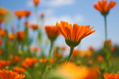 Fleur - Calendula Photo stock