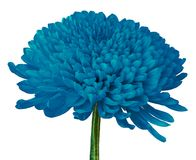 Fleur Cerulean de chrysanthème d'isolement sur un fond blanc Plan rapproché photos stock