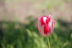 Fleur chinée de tulipe Photographie stock