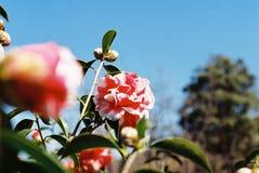 Fleur chinoise de camélia au printemps image libre de droits