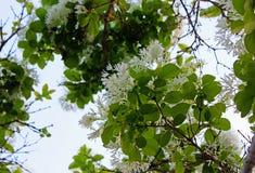 Fleur chinoise de fringetree, retusus de Chionanthus image stock