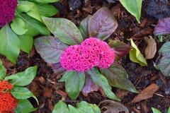 Fleur chinoise de laine photos stock