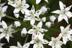 Fleur chinoise de poireaux Image stock