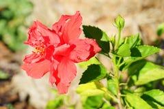 Fleur chinoise rouge de ketmie Image libre de droits