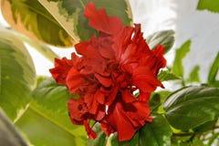 Fleur chinoise rouge de ketmie de Terry photos libres de droits