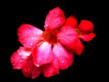 fleur chuan de chom Photo stock