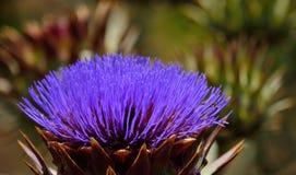 Fleur colorée d'artichaut sauvage Photo libre de droits