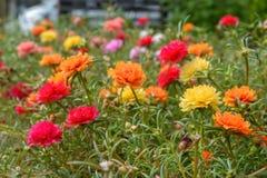 Fleur colorée d'oleracea de Portulaca Photo stock