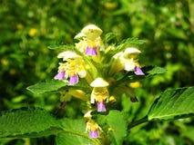 Fleur colorée dans le domaine, Lithuanie Image stock