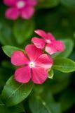 Fleur colorée dans le jardin Images libres de droits
