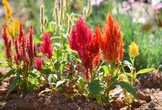 Fleur colorée de crête image stock
