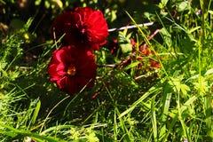 Fleur colorée de dahlia avec des baisses de rosée de matin photos stock