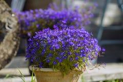 Fleur colorée de lobélie dans le jardin d'été Image stock