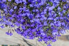 Fleur colorée de lobélie dans le jardin d'été Photo libre de droits