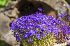 Fleur colorée de lobélie dans le jardin d'été Photographie stock
