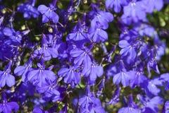 Fleur colorée de lobélie dans le jardin d'été Photos stock