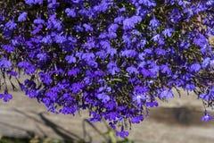 Fleur colorée de lobélie dans le jardin d'été Image libre de droits