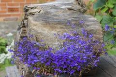 Fleur colorée de lobélie dans le jardin d'été Photos libres de droits