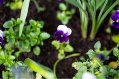 Fleur colorée de pensée connue sous le nom de variété tricolore d'alto le hortensis fleurit dans un jardin botanique sur un fond  Images libres de droits