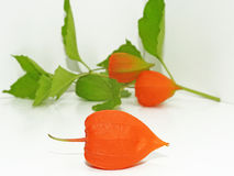 Fleur colorée de physalis Photographie stock