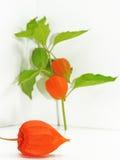 Fleur colorée de physalis Images libres de droits