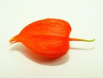 Fleur colorée de physalis Image libre de droits