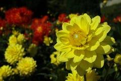 Fleur colorée en tant que d'abord signe de ressort, Allemagne Image libre de droits