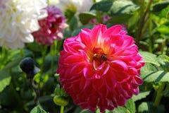 Fleur colorée en tant que d'abord signe de ressort, Allemagne Photos libres de droits