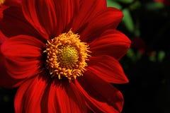 Fleur colorée en tant que d'abord signe de ressort, Allemagne Photographie stock libre de droits