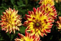 Fleur colorée en tant que d'abord signe de ressort, Allemagne Photo stock