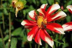 Fleur colorée en tant que d'abord signe de ressort, Allemagne Image stock