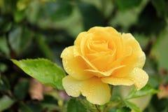 Fleur colorée en tant que d'abord signe de ressort, Allemagne Photo libre de droits