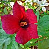 Fleur colorée par sang Photos libres de droits