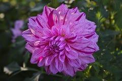 Fleur colorée rose-clair de dahlia avec des rayures et baisses de l'eau sur des pétales image stock